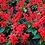 Thumbnail: Salvia Splendens Blaze of Fire