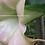 Thumbnail: Dwarf PinknGreen