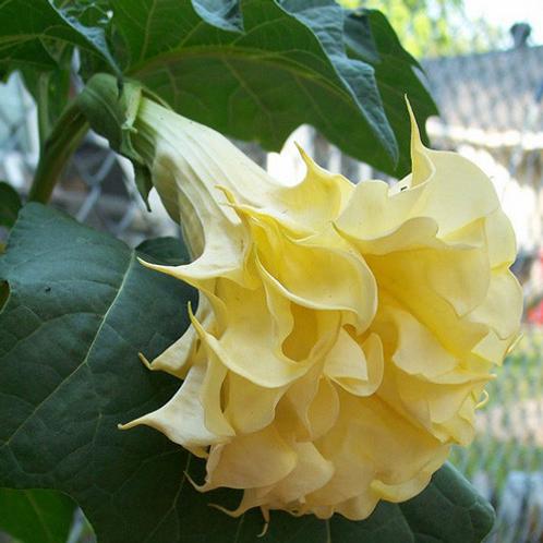 Datura Metel Chlorantha Double Yellow Seeds