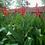 Thumbnail: Canna Indica 'Canna Lily' Indian Shot Seeds