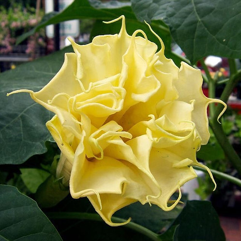 Datura Double Yellow Seeds (10pcs)