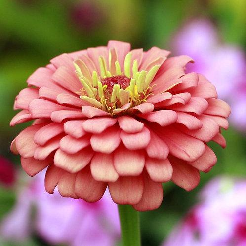 Zinnia Elegans Exquisite Light Rose