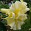 Thumbnail: Datura Double Yellow Seeds (10pcs)