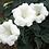 Thumbnail: Datura Innoxia Moon Flower Seeds