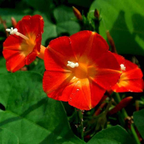 Ipomoea Coccinea Scarlet Morning Glory Seeds