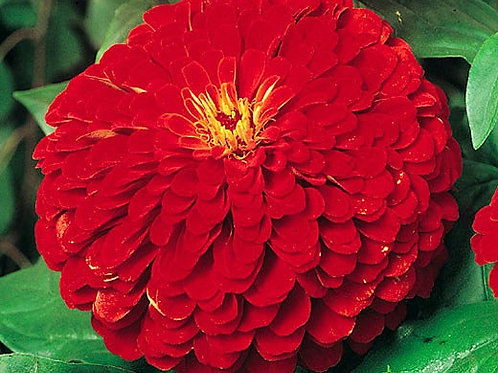 Zinnia Elegans Cherry Red Queen