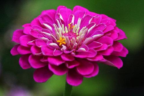 Zinnia Elegans Purple Prince