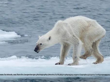 כוחו של צילום - דובת הקוטב המורעבת