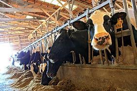 Marburger Farm Dairy cows.jpeg