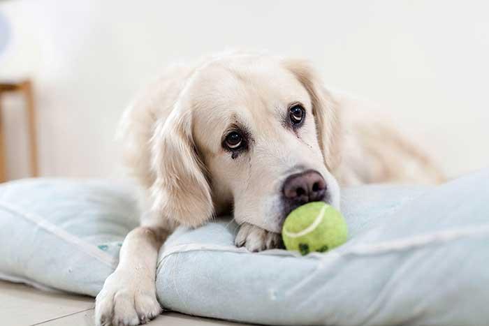 Artrosis perros