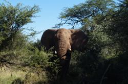 Elefant am Zaun