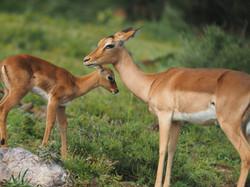 Impala mit Kind