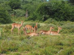 Impala Familie