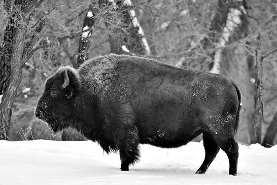 buffalo 2020.jpg
