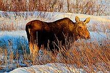 one-moose.jpg