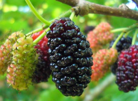 Mulberry Có Lợi Ích Gì Cho Sức Khỏe