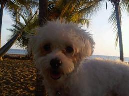 Lillie, age 10, Miniature Maltese