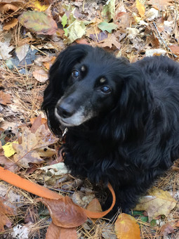 Dodger, age 10, Longhaired Dachshund