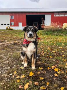 Rosie, age 10 months, Aussie and Newfoundland mutt