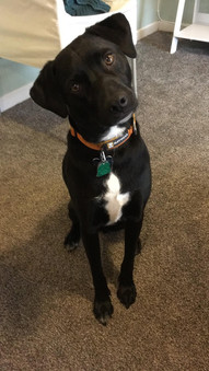 Rudy age 2, Lab/Terrier Mix