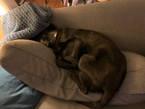 Jet, age 7, Labrador