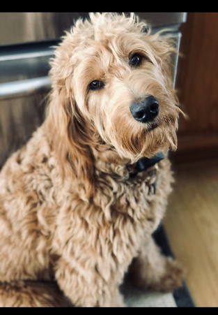 Oakley, age 1, Golden Doodle