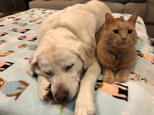 Sunny and Buddy, age 6 and 8, Lab and Domestic Shorthair