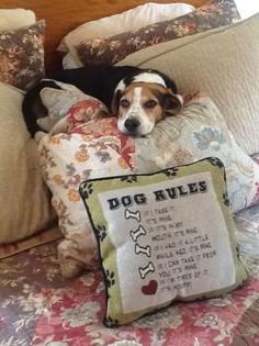 Otis, age 12, Beagle