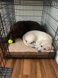 Otis 5, and Clarabelle, 4 months, Labradors