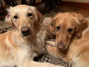 Gus, 2½ and Daisy, 1½, Golden Retriever