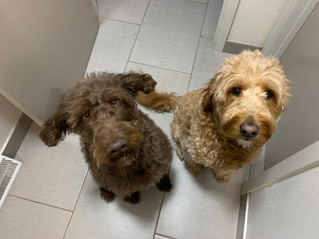 Linda and Helen, age 2½ , Labradoodles