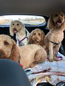 Mackie, Maggie, Sully and Bailey, ages 8,4 and 3, Goldendoodles