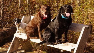 Spud 2, Riley 8 and Roxy, 5, Schweenie, Chocolate Lab and Black Lab