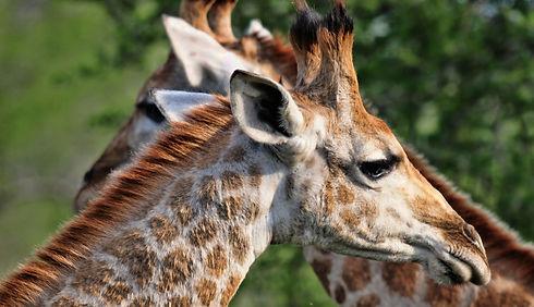 Giraffe in Africa Handover