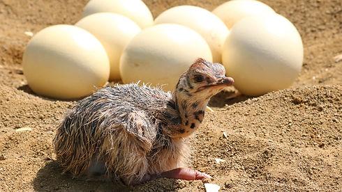 Chicken and egs, development