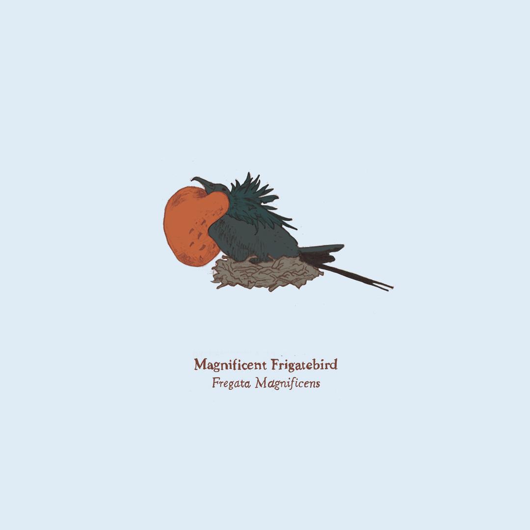 Frigatebird.png