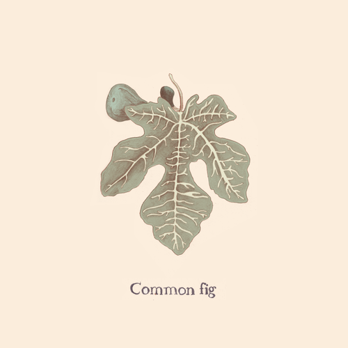 Common Fig.png