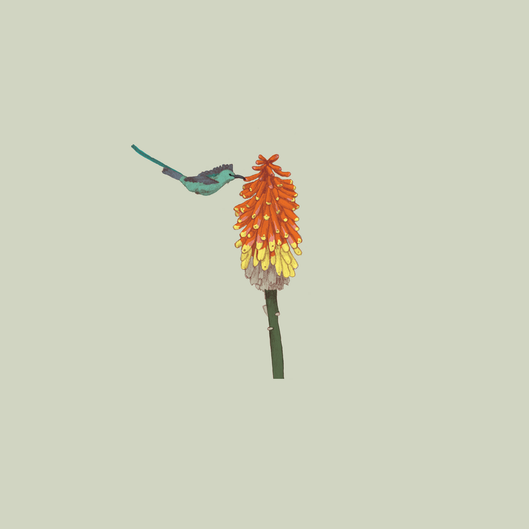 Red hot poker.PNG