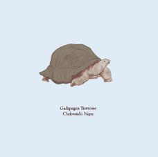 Galapagos Toroise