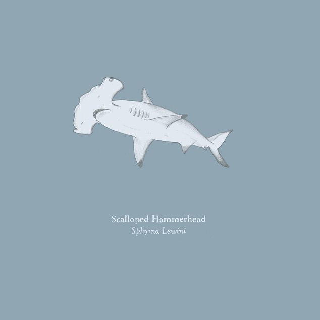 Scalloped Hammerhead