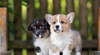 Welsh corgi puppy.jpg