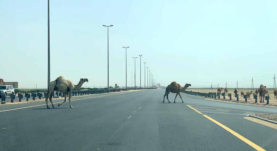 Camels crossing
