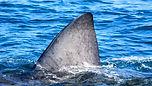 basking-shark-1.jpg