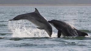 Sark Dolphin watch uk.jpg