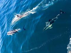 Common Dolphins Brixham
