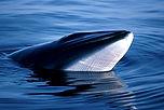 whale_minke_353566.jpg