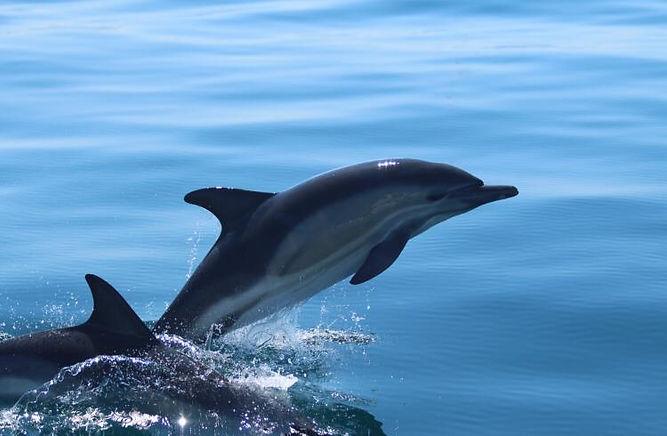 Dolphin Jumping.jpeg