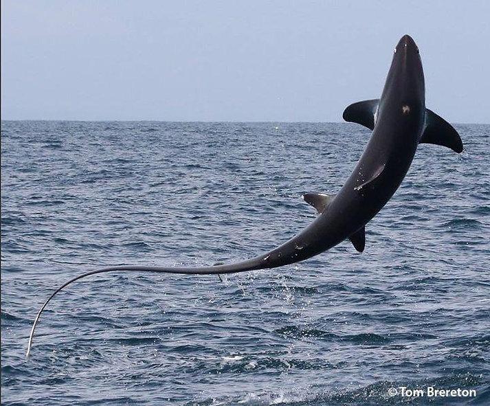 Thresher Shark leaping Torbay
