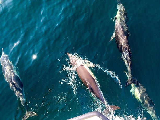 Dolphins, Torbay.jpg