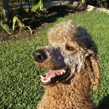 Rusty, Standard Poodle